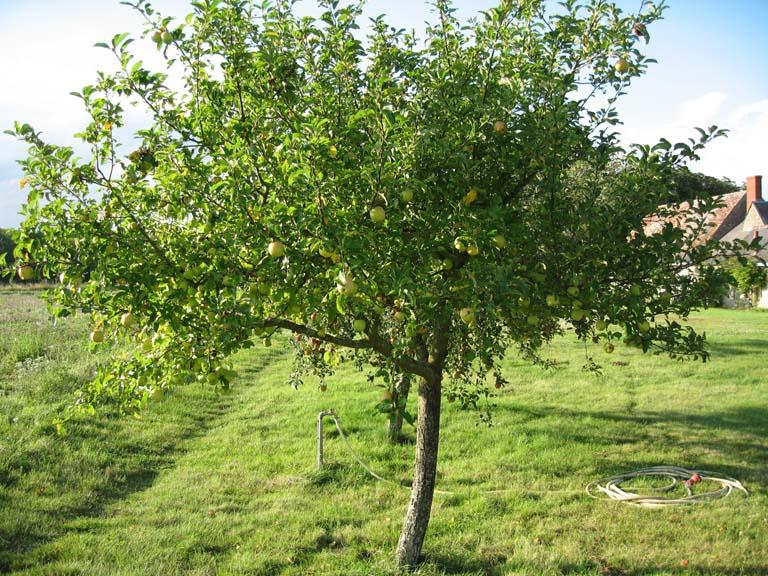 Hobbesworld detail sur les arbres malus sylvestris pommier - L arbre le pommier ...
