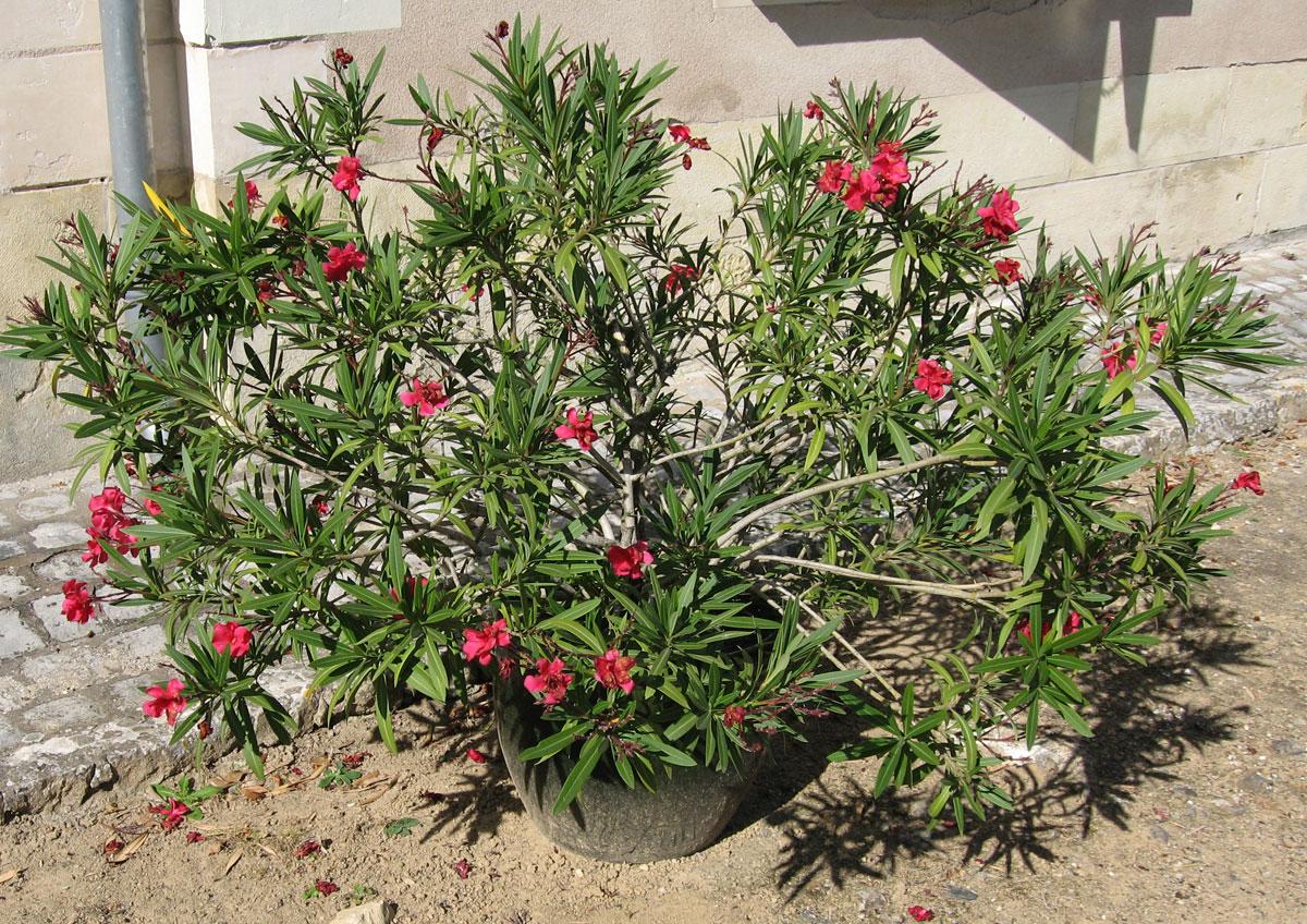hobbesworld detail sur les arbres nerium oleander laurier rose. Black Bedroom Furniture Sets. Home Design Ideas