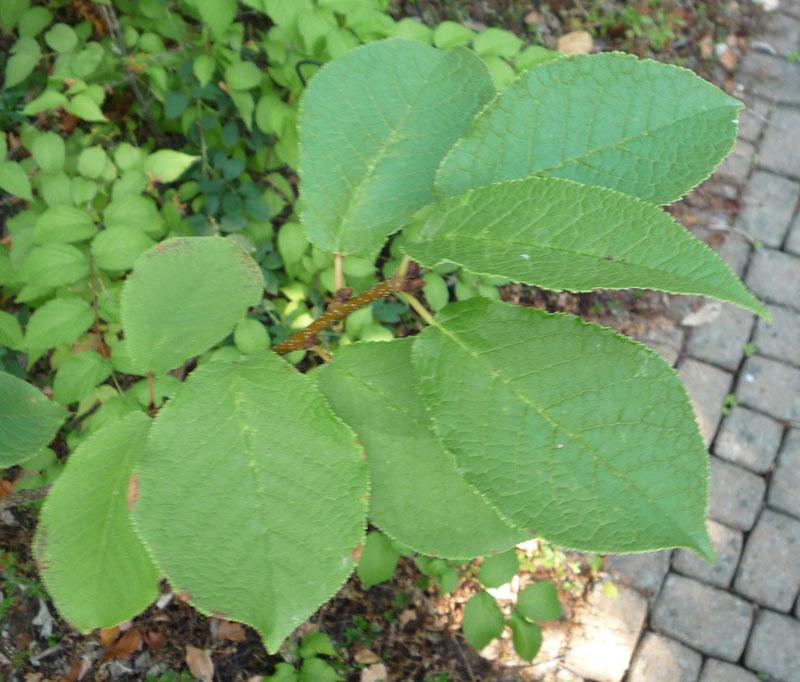 Cerisier Bois Puant : – Detail sur les Arbres : Prunus padus – Cerisier ? Grappes