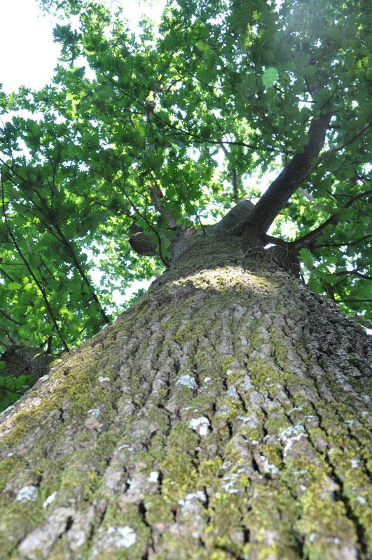 HobbesWorld - Detail sur les Arbres : Quercus frainetto ...