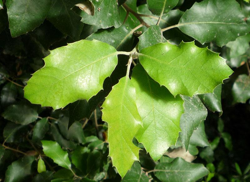 Hobbesworld detail sur les arbres quercus ilex ch ne - Maladie du chene vert arbre ...