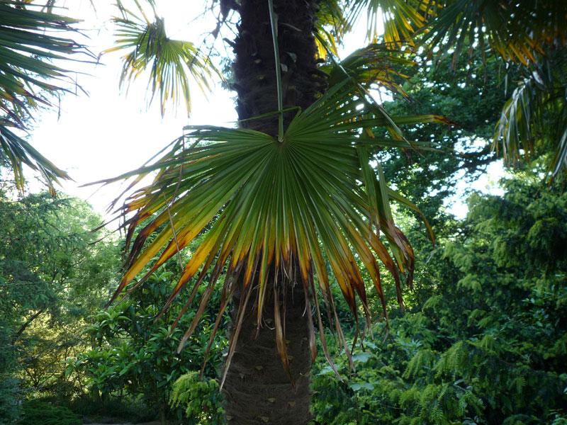 hobbesworld detail sur les arbres trachycarpus fortunei palmier chanvre. Black Bedroom Furniture Sets. Home Design Ideas