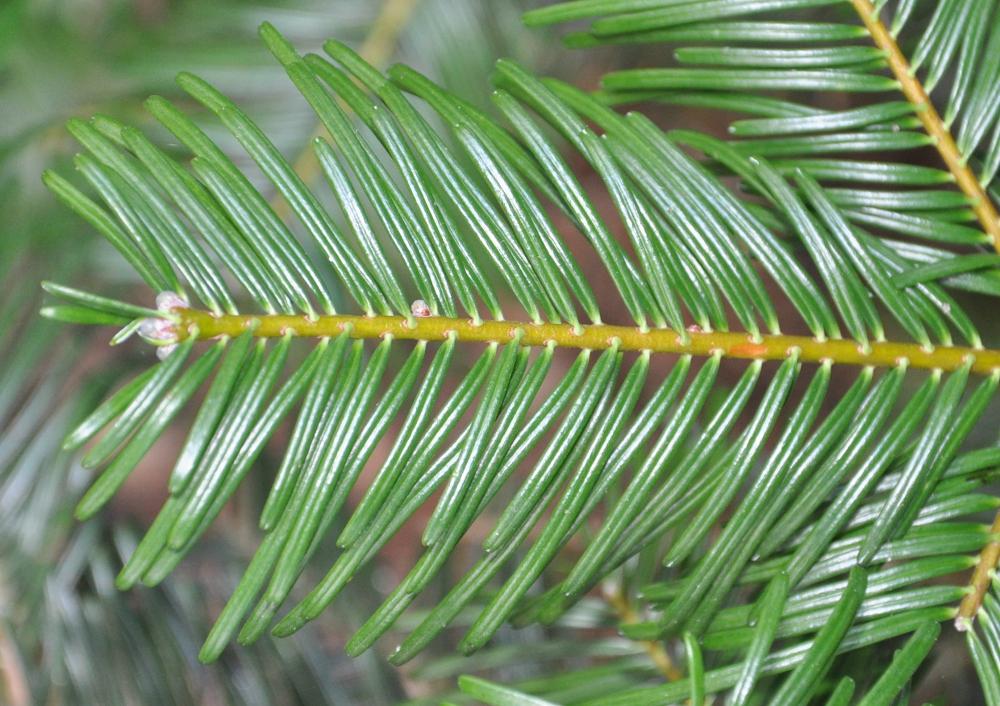 Hobbesworld detail sur les arbres abies grandis sapin de vancouver - Sapin qui perd pas ses aiguilles ...
