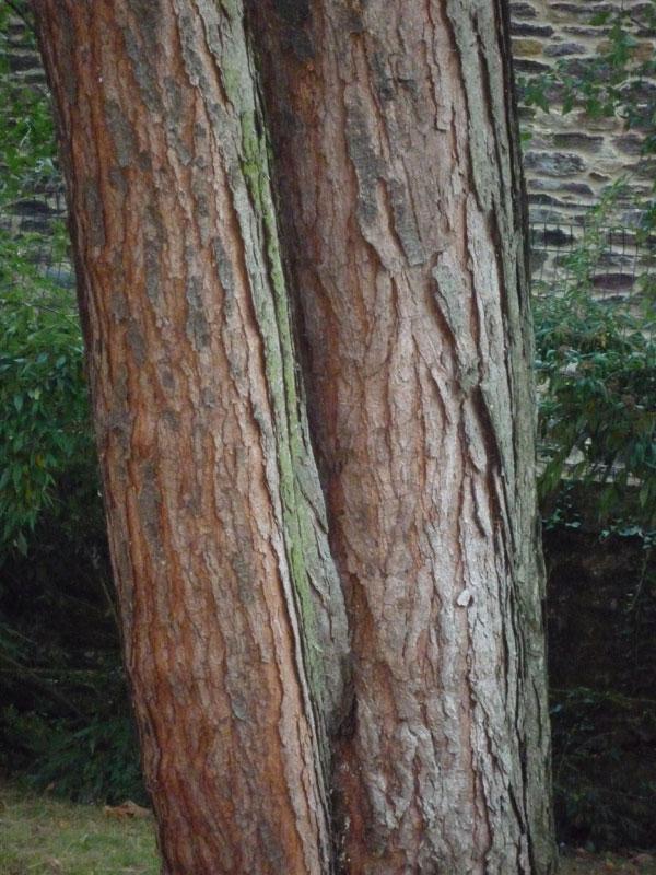 Hobbesworld detail sur les arbres pinus ponderosa - Ecorce de pin auchan ...
