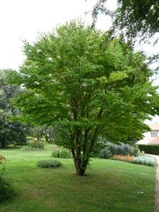 hobbesworld detail sur les arbres cercidiphyllum japonicum arbre g teaux. Black Bedroom Furniture Sets. Home Design Ideas