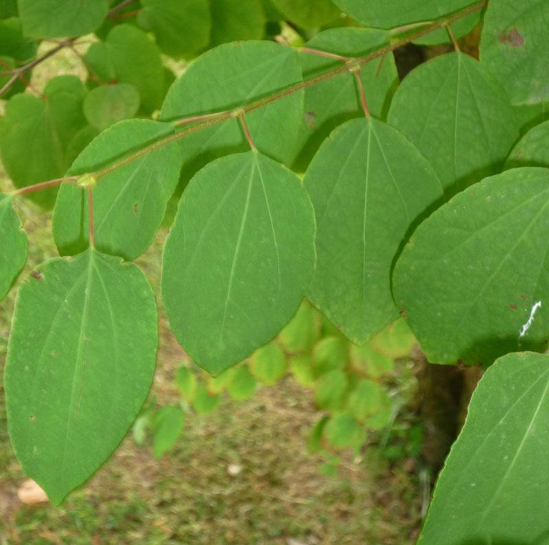 Hobbesworld detail sur les arbres cercidiphyllum japonicum arbre g teaux - Arbre a feuille persistant ...