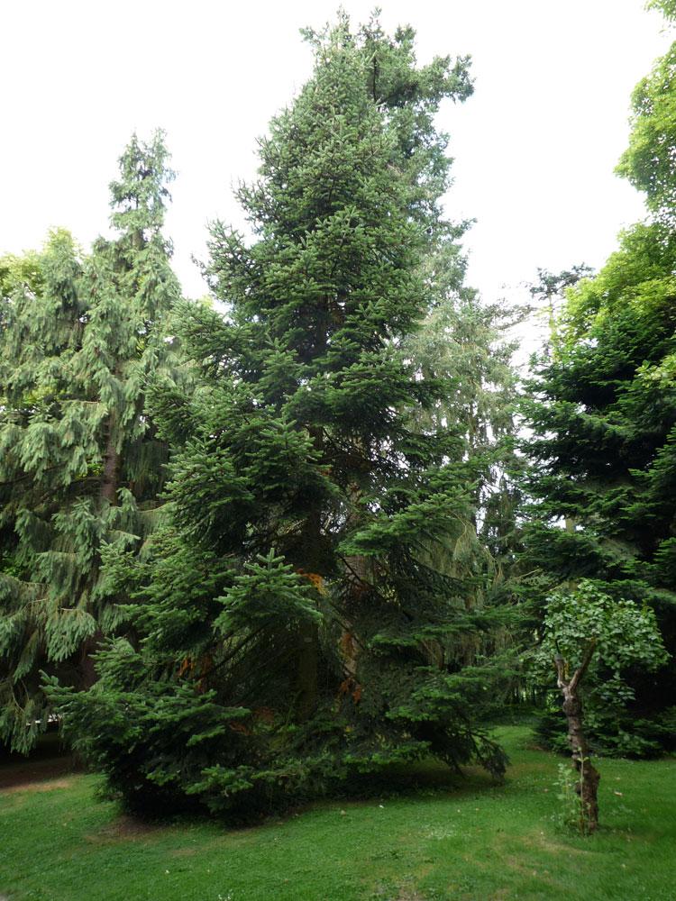 hobbesworld detail sur les arbres abies nordmanniana. Black Bedroom Furniture Sets. Home Design Ideas