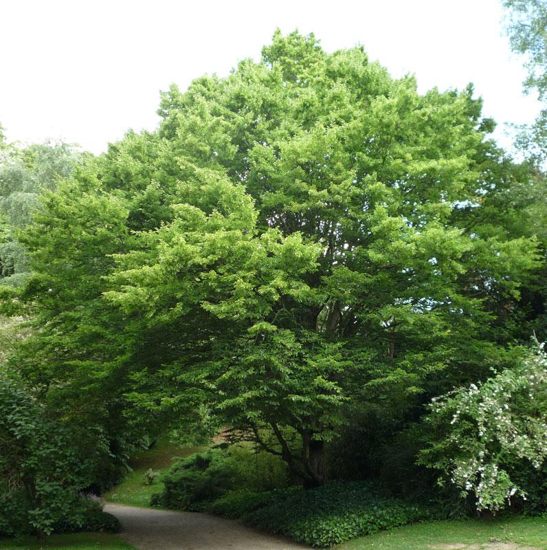 hobbesworld detail sur les arbres carpinus betulus charme commun. Black Bedroom Furniture Sets. Home Design Ideas