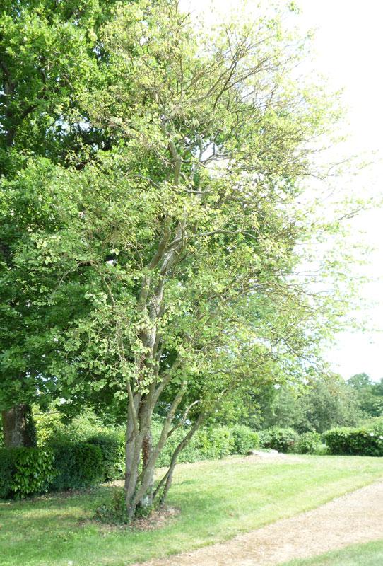 hobbesworld detail sur les arbres cercis siliquastrum arbre de jud e. Black Bedroom Furniture Sets. Home Design Ideas